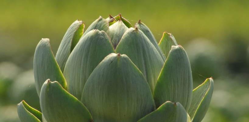 a close up image of an artichoke plant
